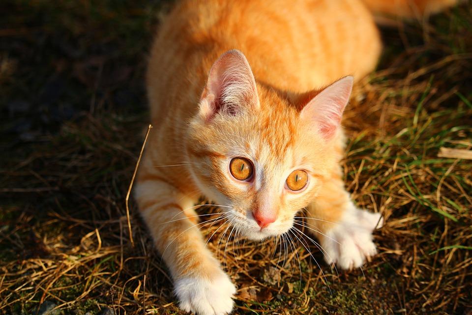 Kot Kotek Czerwony Pręgowany Darmowe Zdjęcie Na Pixabay