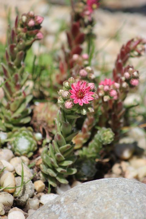 Succulent plant pink free photo on pixabay succulent plant pink flowers blooming rock mightylinksfo