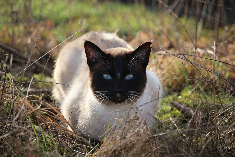 Gato, Gato Siamés, Siamese, Resaca, Blue Eye
