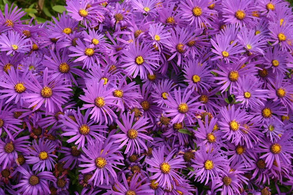 free photo asters, flowers, purple, autumn  free image on, Beautiful flower