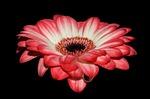 gerbera, petals, red