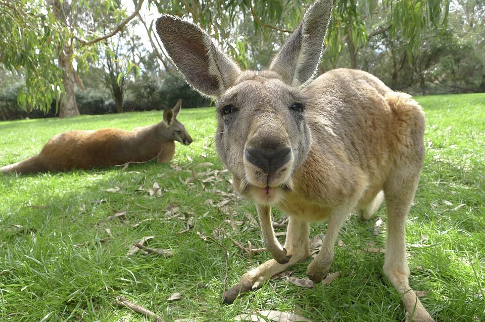 Afbeeldingsresultaat voor kangoeroe