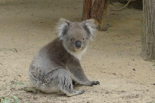 Koala, Perth, Australia, Nature, Koala