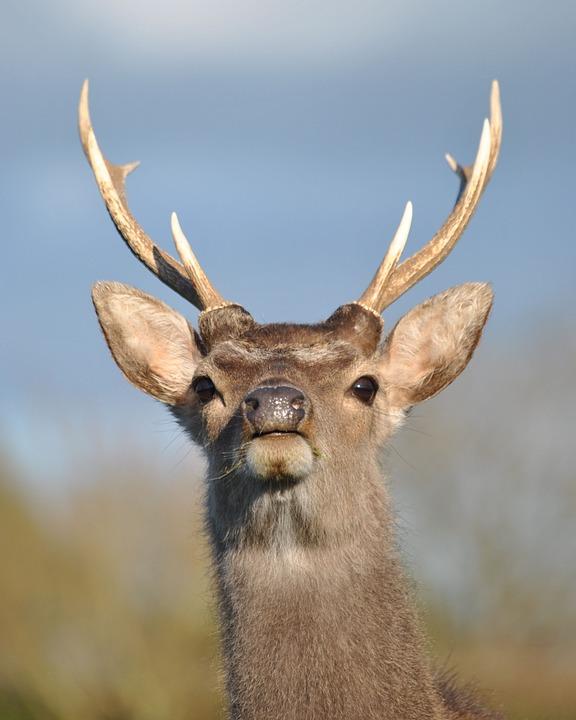 鹿の枝分かれした立派な角