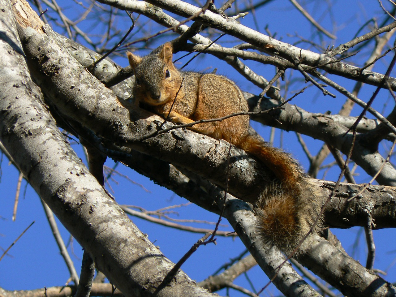 Naked squirrel