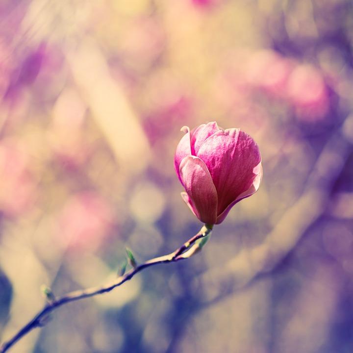 kostenloses foto bl te magnolie fr hling rosa. Black Bedroom Furniture Sets. Home Design Ideas