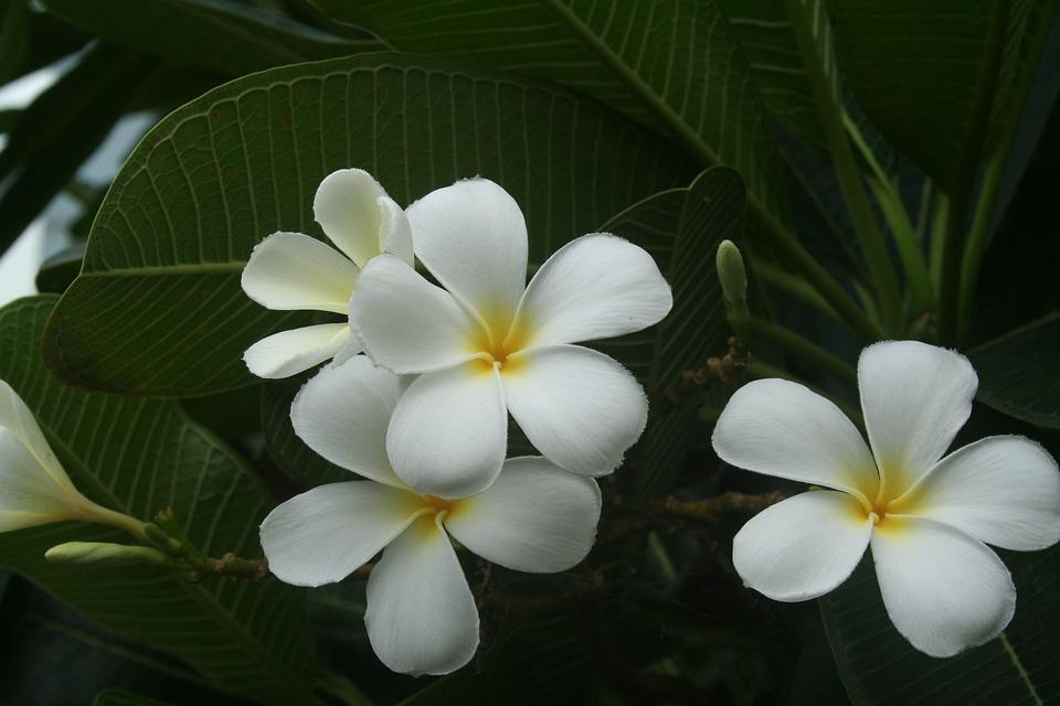 Flower White Frangipani · Free photo on Pixabay