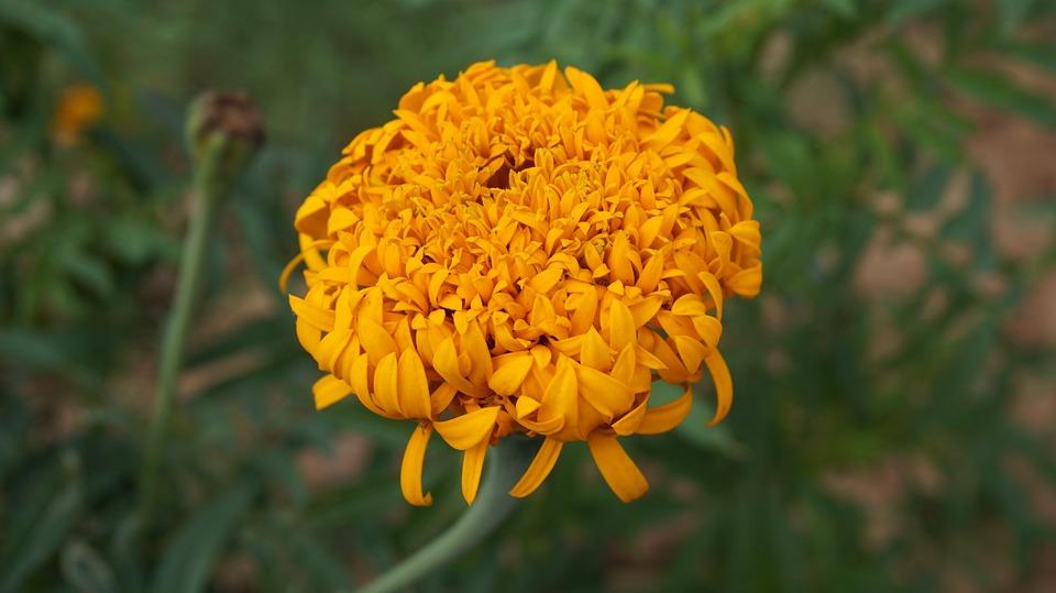 Marigold flower flowers yellow free photo on pixabay marigold flower flowers yellow flowers kind of wood mightylinksfo