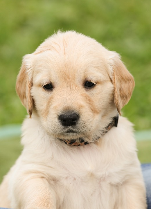Free photo: Puppy, Dog, Golden Retriever, Pet - Free Image ... Pictures Of Puppies