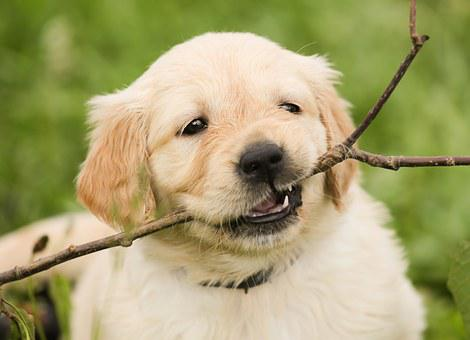 Puppy, Golden Retriever, Dog, Pet