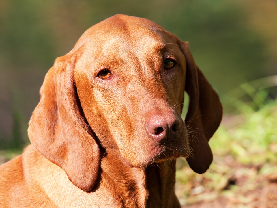 Free Photo Dog Brown Hungarian Vizsla Free Image On