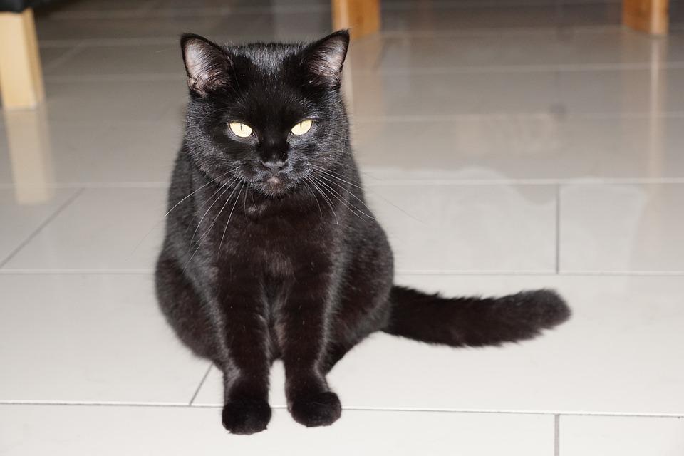 73 Gambar Binatang Kucing Hitam Terbaru
