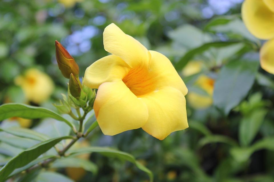 Yellow Allamanda, Allamanda Cathartica, Gold Trumpet