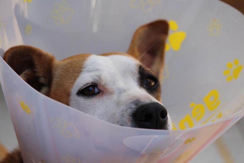 Loopsheid bij honden – Wat te doen?