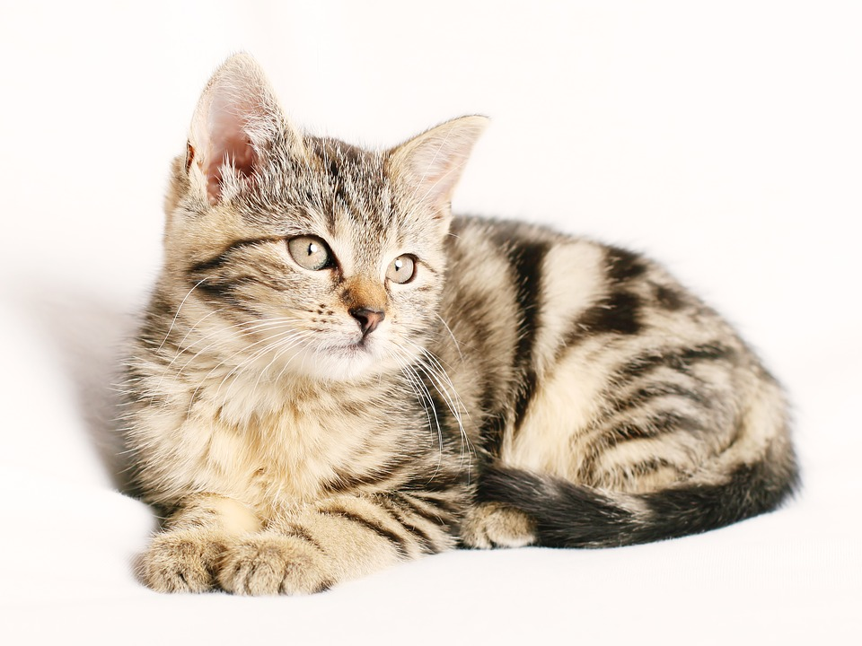 Cat, Pet, Striped, Kitten, Young, White