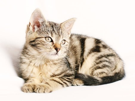 Cat, Pet, Striped, Kitten, Young