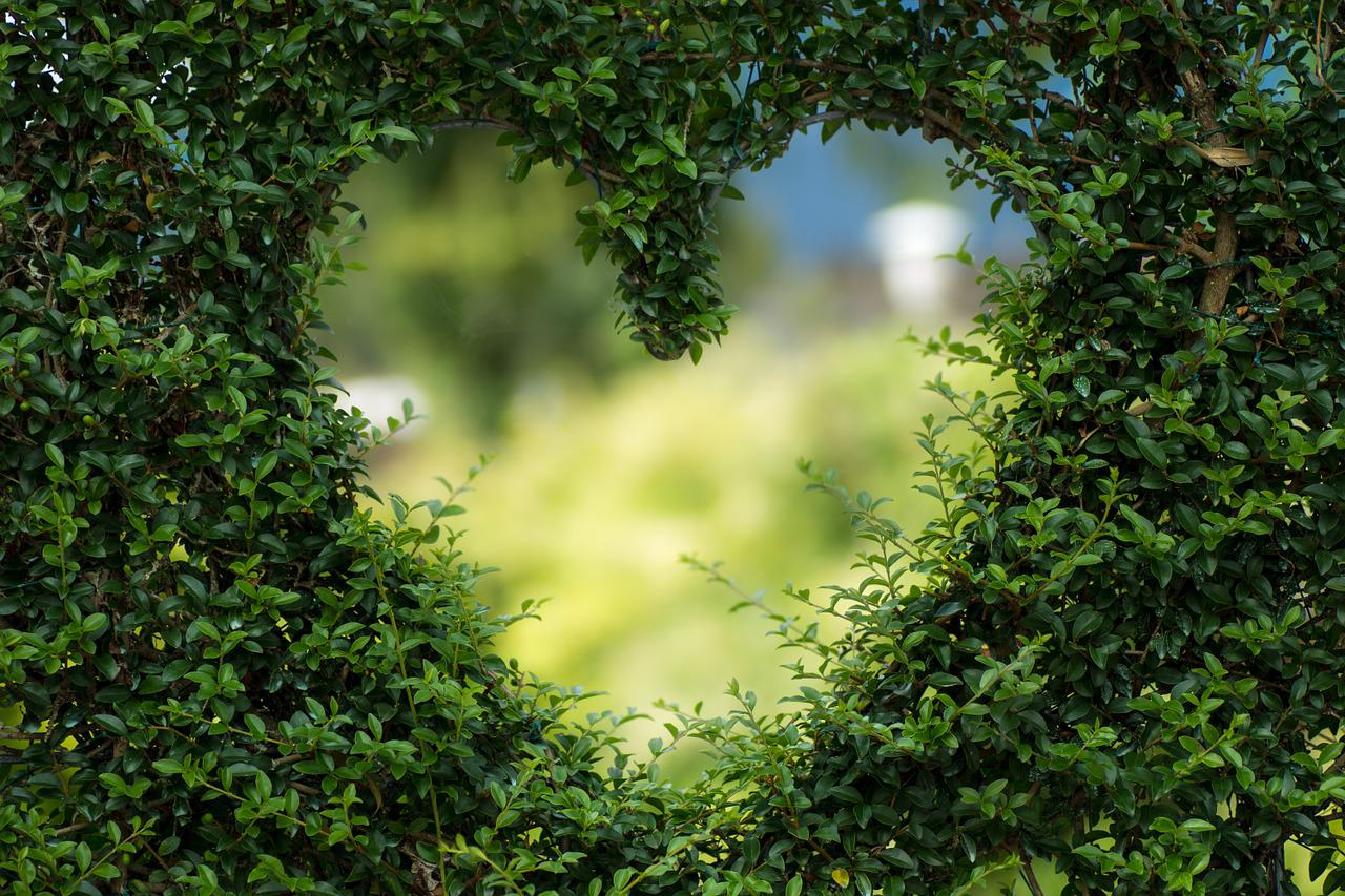 A heart shape is cut from a green, plant hedge.