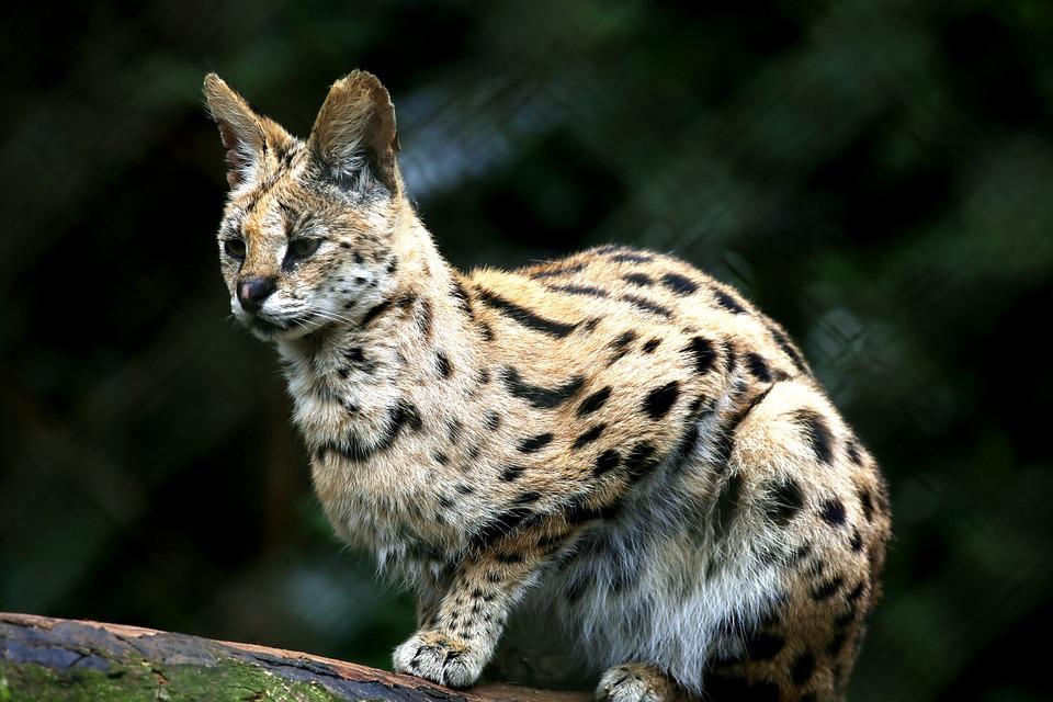 猫 ボブキャット オセロット 動物 野生