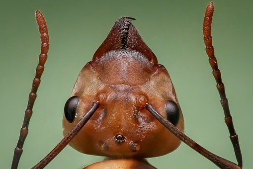 Queen Ant, Ant, Ant Head, Insect