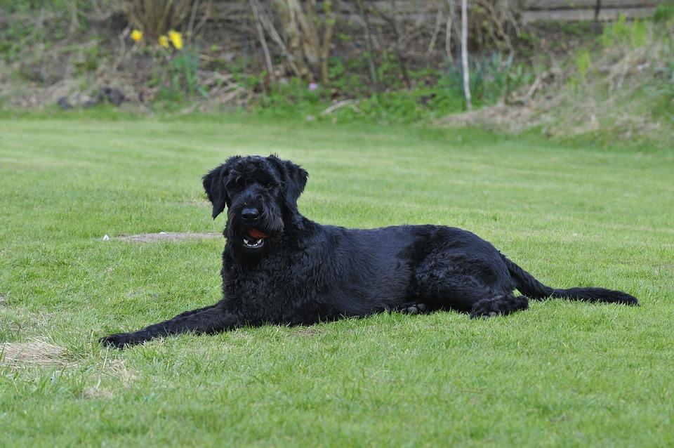 Dog, Giant Schnauzer, Garden, Black