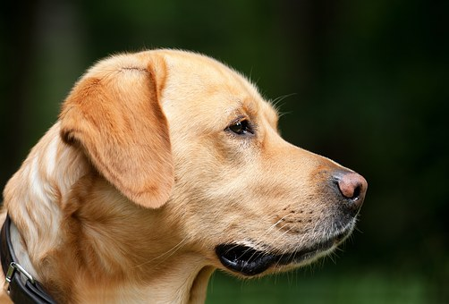 Dog, Labrador, Light Brown, Pet