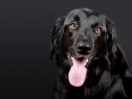 Dog, Hovawart, Black, Pet