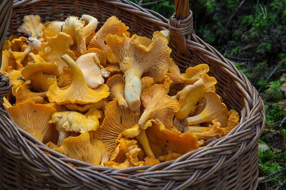 Fungo, Spugna, Cestino, Funghi Gallinacci