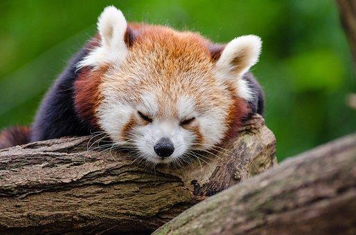 Red Panda, Sleeps, Rest, Cute, Tired