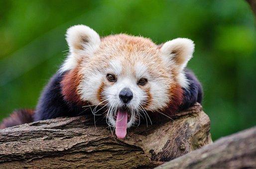 Red Panda, Yawns, Curious, Little Panda