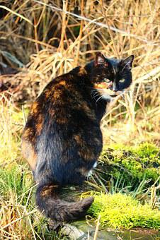 Africkej mačička