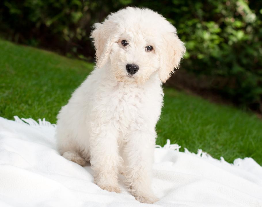 Perro, Cachorro, Labradoodle, Blanco, Hundeportrait