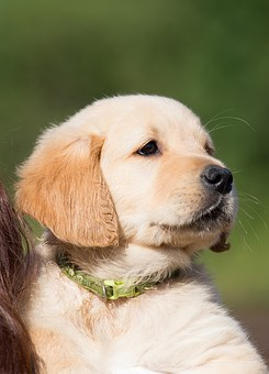 Dog, Puppy, Golden Retriever, Young