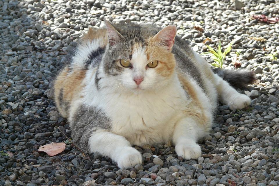 Bahaya yang ditimbulkan jika kucing terlalu gemuk