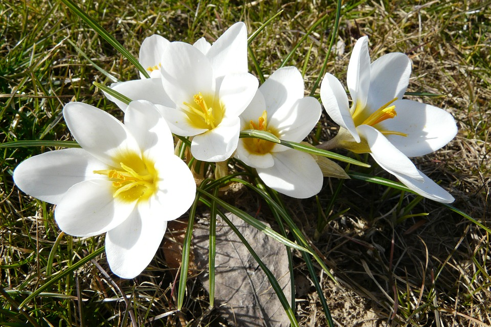 Crocus flowers white free photo on pixabay crocus flowers white frhlingsanfang yellow mightylinksfo