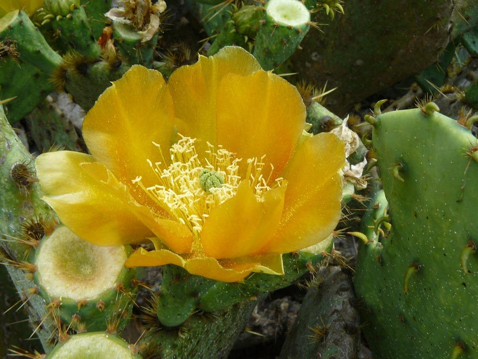 Cactus flower yellow free photo on pixabay cactus flower yellow desert prickly blossom mightylinksfo Images