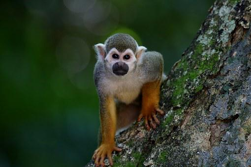 Scented Monkey Primate Animal Looking In T
