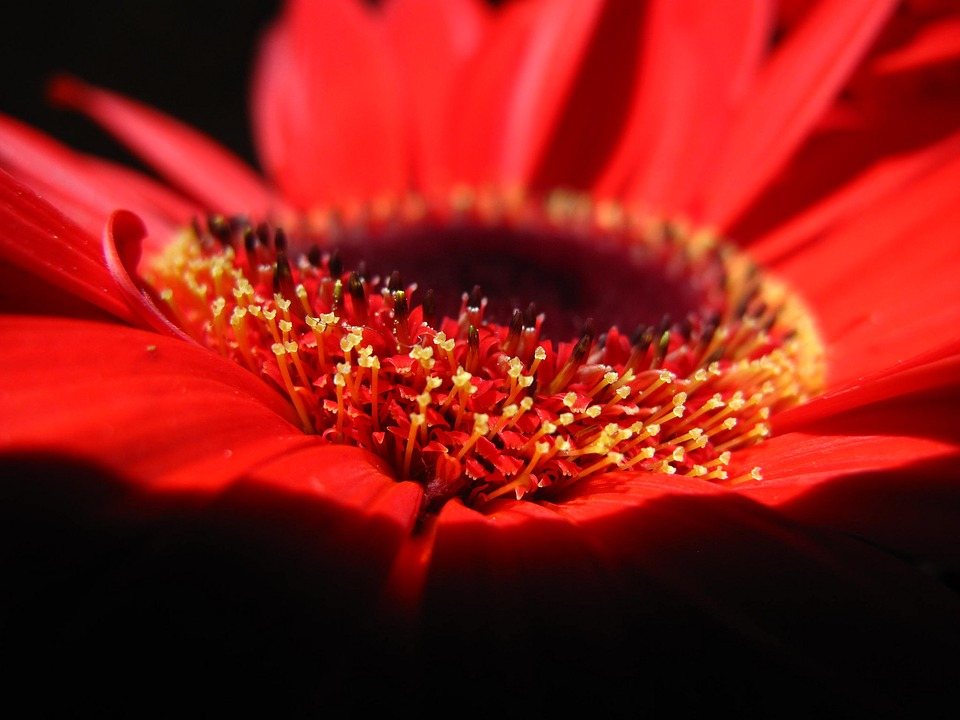 Photo gratuite fleur rouge p tales coeur jaune image - Fleur au coeur noir ...