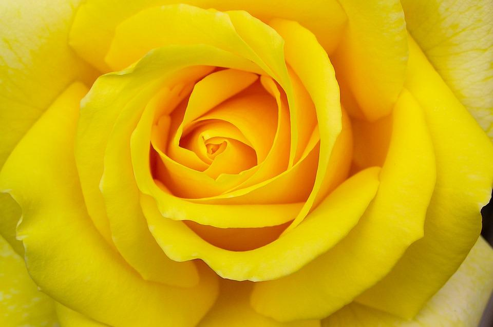 Rose yellow flower free photo on pixabay rose yellow flower bloom macro summer flower mightylinksfo