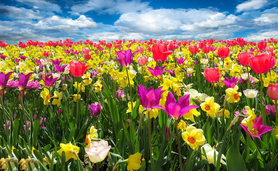 https://cdn.pixabay.com/photo/2016/02/13/10/35/tulips-1197602_960_720.jpg