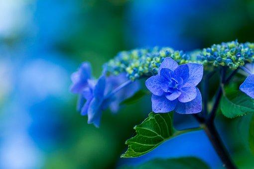 紫陽花, ブルーの花びら, 植物, 日本, 花, 梅雨, 青, 自然, 緑