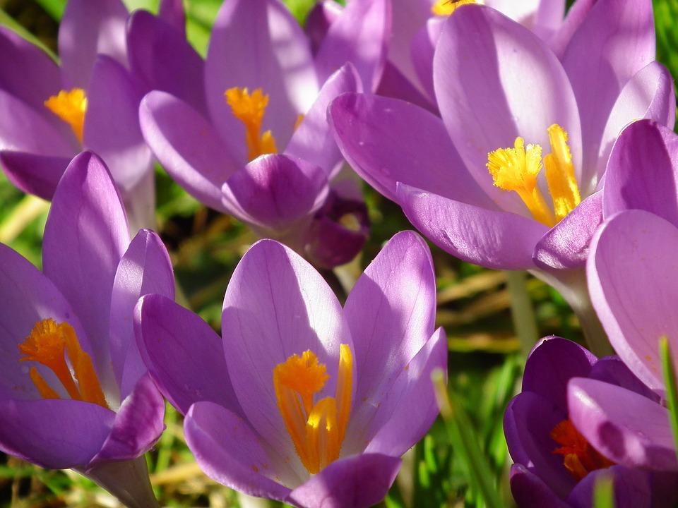 lila blume frhling blumen frhling tulpen gelb lila blumen natur lila violett lavendel blhen. Black Bedroom Furniture Sets. Home Design Ideas
