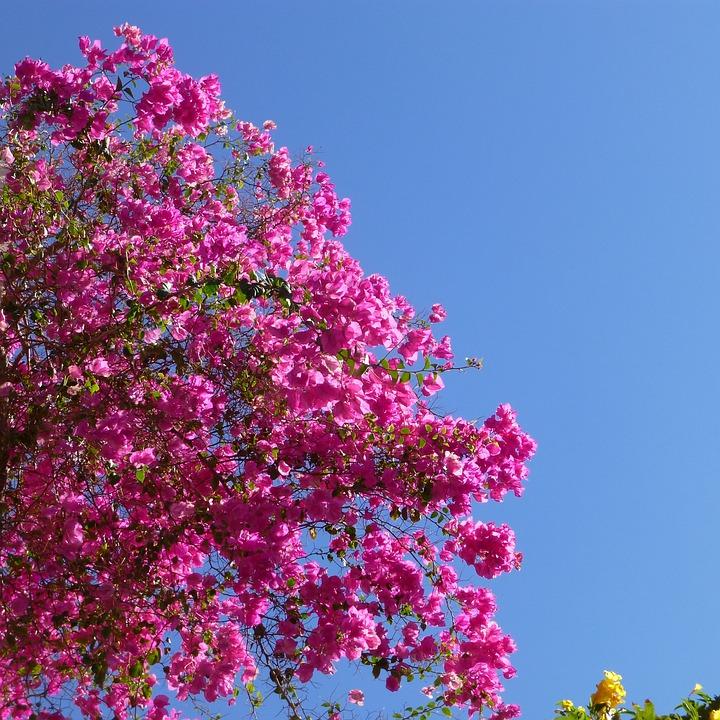 Bouganville Rosa Mare Foto Gratis Su Pixabay