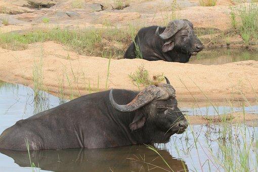 Buffalo, Bath, Animals, Pond, Africa