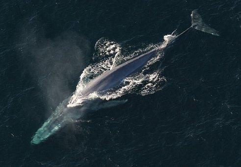Blue Whale, Ocean, Mammal, Marine Animal
