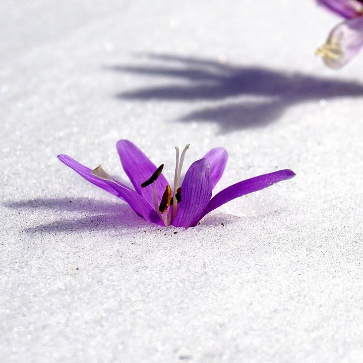 snow, flowers  free images on pixabay, Beautiful flower