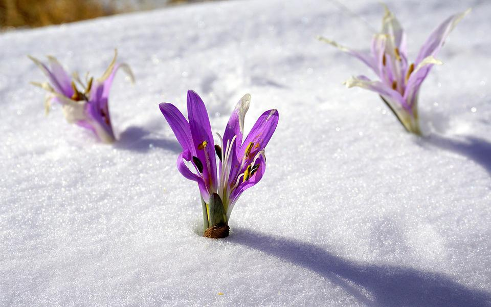 Winter Flowers Snow Botany Free Photo On Pixabay