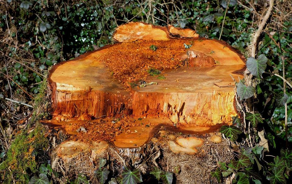 木の切り株, 木, ひき, 林業, フォレスト