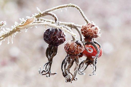 Hagebutte, Rosa Canina, Pflanze, Winter