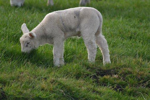 Lamb Farm Sheep Baby Animal Animal Farm An