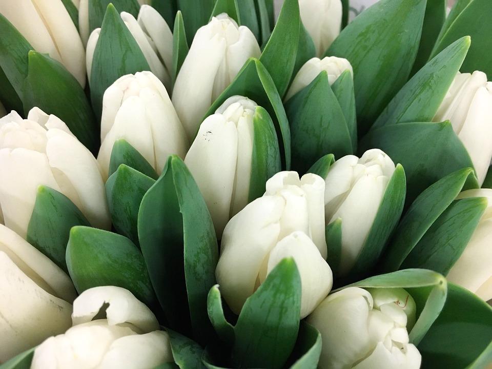 Free Photo Tulip White Tulips Keukenhof Free Image